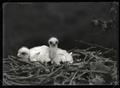 Golden eagle chicks in nest