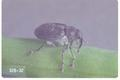 Ceutorhynchus assimilis (Cabbage seed weevil)